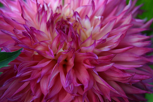 Pink And White Dahlia  Print by Denyse Duhaime