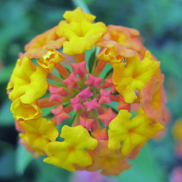 Pink And Yellow Flower Print by Vicki Kennedy