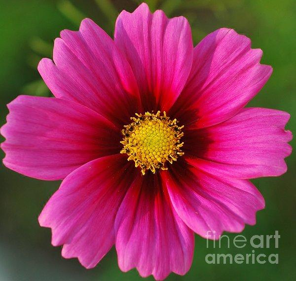 Kathleen Struckle - Pink Cosmos