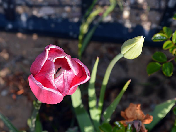 Pink Flower And Bud Print by Brent Dolliver