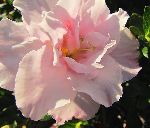 Pink Flower Azalea  Print by Joyce Woodhouse