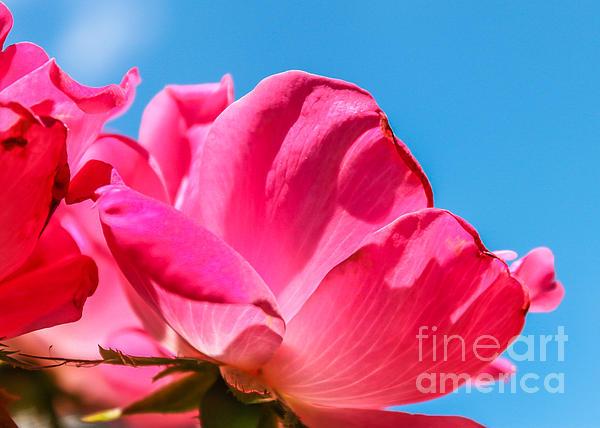 Pink Glory Print by Brandon Hussey
