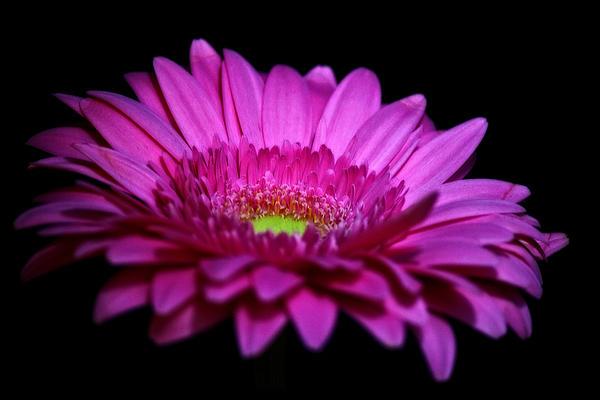 Tracy F - Pink Glow