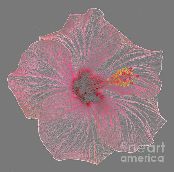 Pink Hibiscus As Coloured Pencil Drawing by Rosemary Calvert