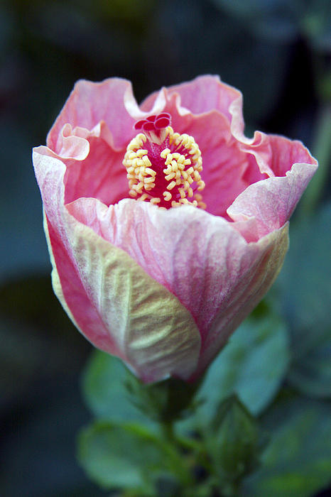 Pink Hibiscus Flower Bud Print by Karon Melillo DeVega