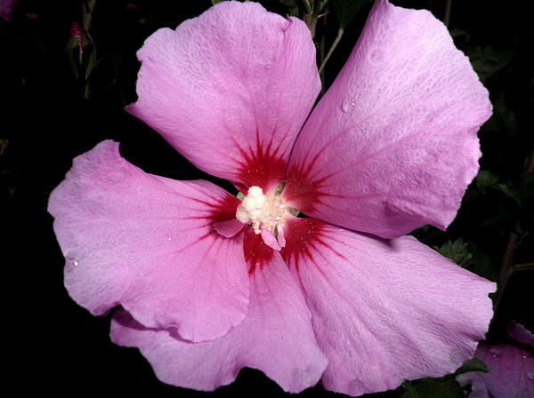 Kate Gallagher - Pink Hibiscus