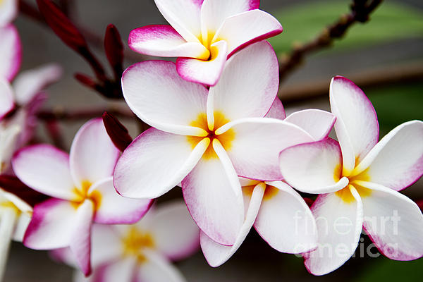 Pink Highlighted Plumeria Print by Thanh Tran