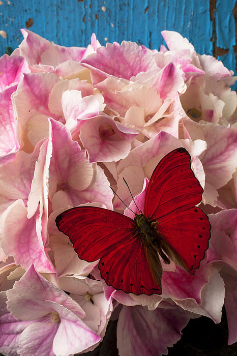 Pink Hydrangea With Red Butterfly Print by Garry Gay