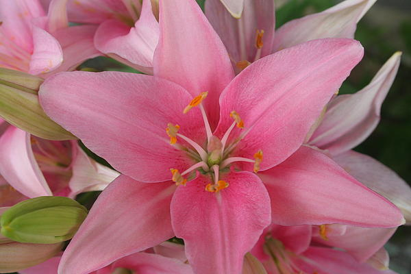 Pink Lilies Print by Cary Amos