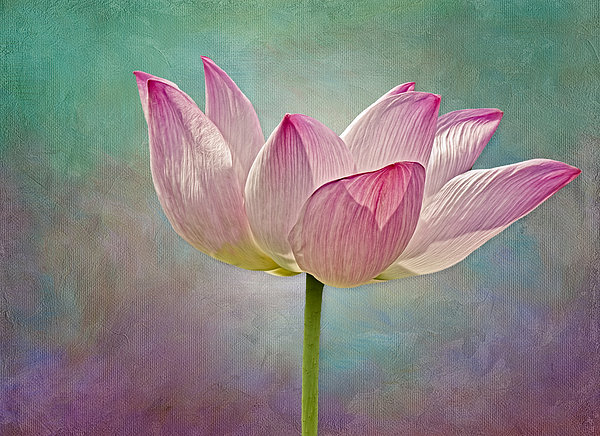 Susan Candelario - Pink Lotus Blossom