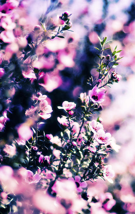 Pink Manuka Flowers Print by motography aka Phil Clark