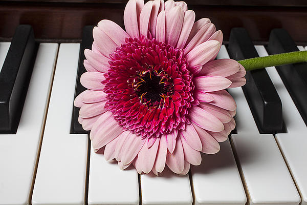Pink Mum On Piano Keys Print by Garry Gay