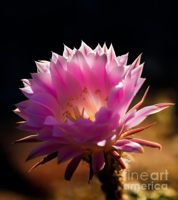 Robert Bales - Pink Night Bloomer
