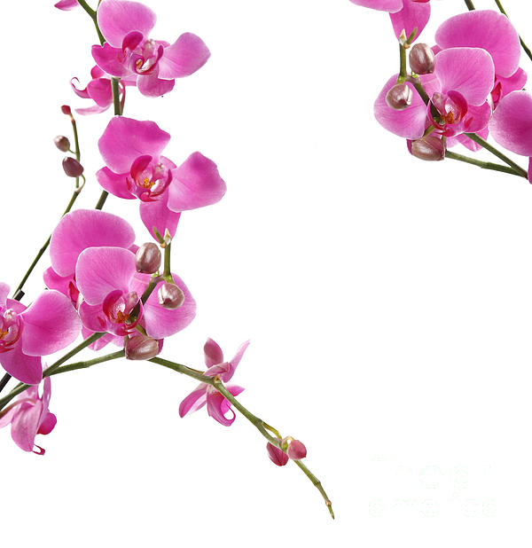 Pink Orchids Print by Boon Mee