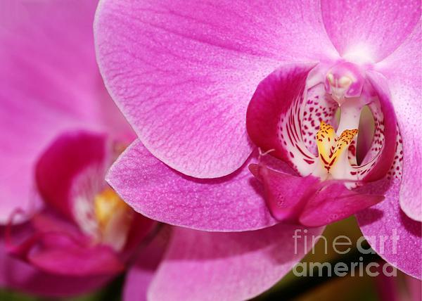 Pink Orchids Print by Sabrina L Ryan