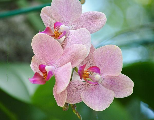 Sonali Gangane - Pink Orchis