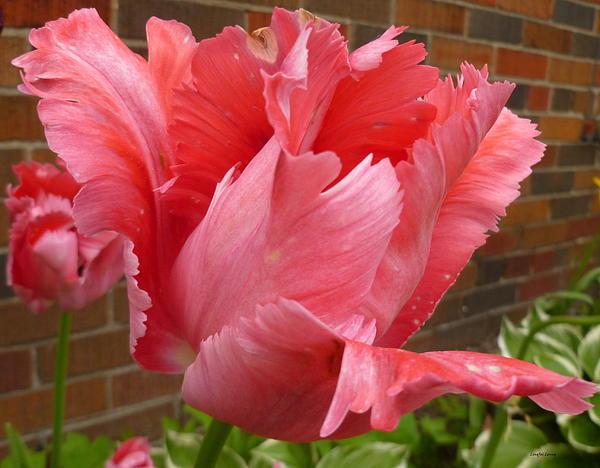 Lingfai Leung - Pink Parrot Tulip