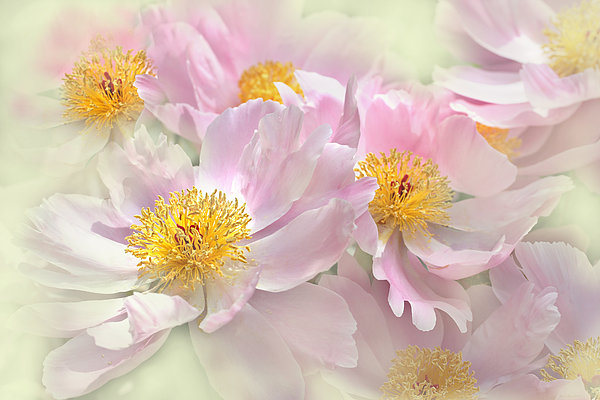 Pink Peony Flowers Parade Print by Jennie Marie Schell