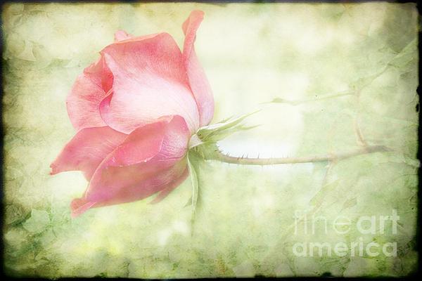 Pink Rose Print by Joan McCool