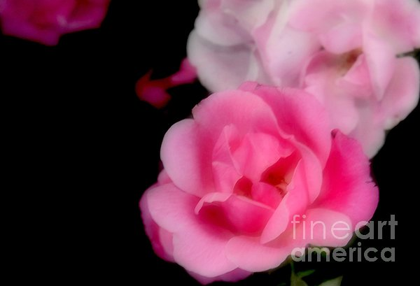 Pink Roses Print by Kathleen Struckle