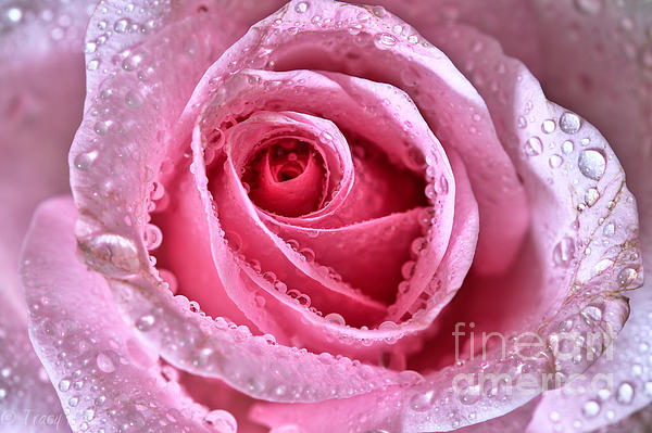 Pink Shimmering Rose Print by Tracy  Hall