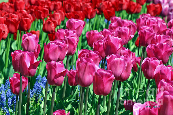 Pink Tulips Print by Tap  On Photo