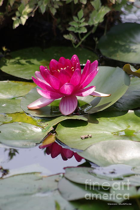 Pink Water Lily Print by Tannis  Baldwin