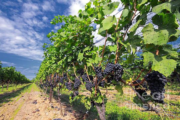 Pinot Noir Grapes In Niagara Print by Charline Xia