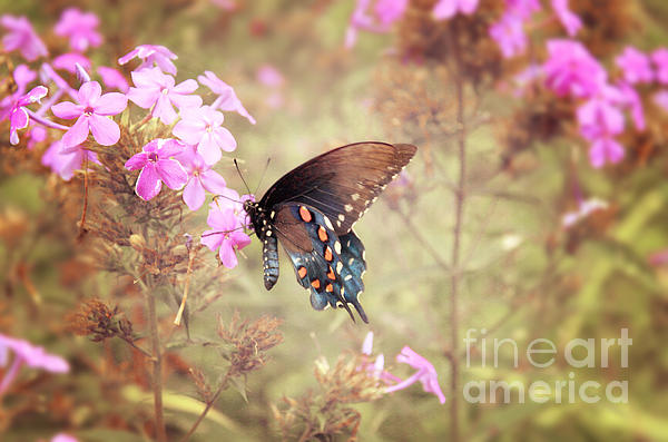 Pipevine Swallowtail Butterfly Print by Lena Auxier