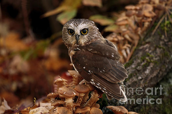 Inspired Nature Photography By Shelley Myke - Pixie Saw Whet Owl Watching You
