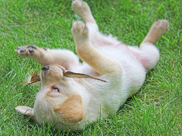 Playful Yellow Labrador Retriever Puppy Print by Jennie Marie Schell