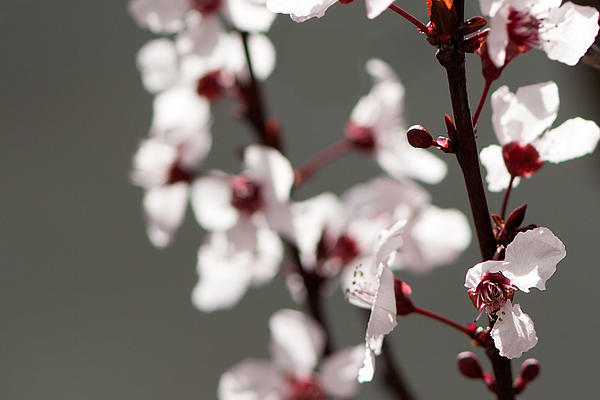 Plum Blossom II Print by Peter Tellone