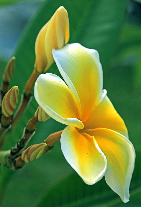 Larry Nieland - Plumeria First Bloom
