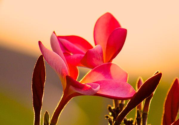 Kimberly  Reeves - Plumeria Sunset
