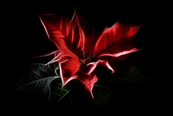 Poinsettia - Christmas Flower Print by Gynt