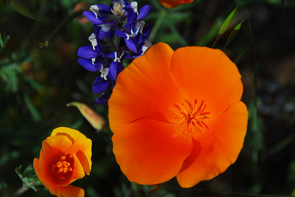 Poppies And Lupine Print by Lynn Bauer