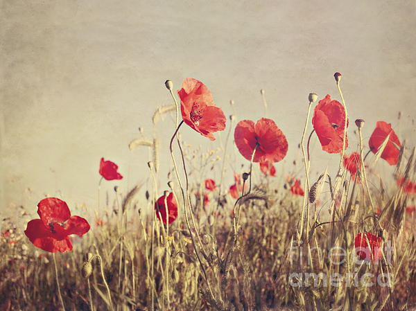 Poppies Print by Diana Kraleva