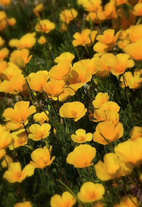 Saija  Lehtonen - Poppy Fields