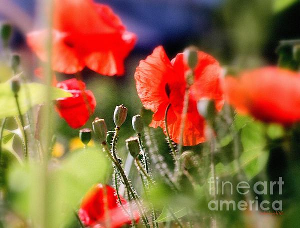 Kathy Bassett - Poppy Seedpods