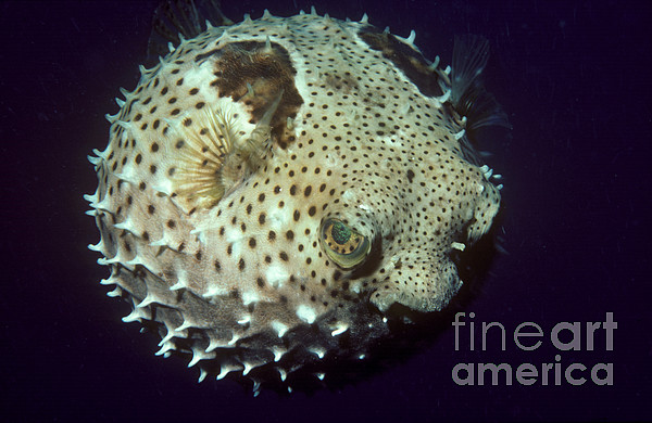 Porcupinefish Print by Gregory G. Dimijian