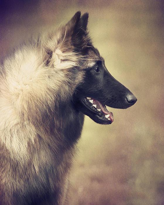 Portrait Of A Belgian Shepherd Tervuren Print by Wolf Shadow  Photography