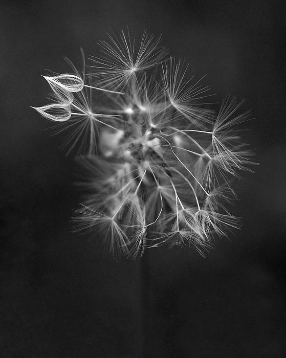 Portrait Of A Dandelion Print by Rona Black