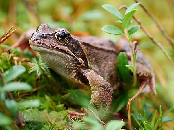 Portrait Of A Frog Print by Jouko Lehto