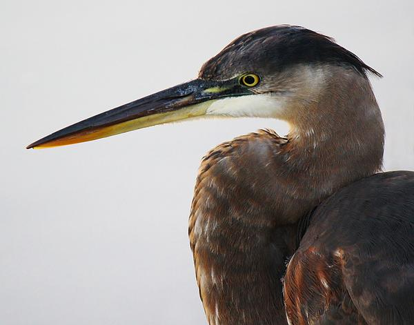Portrait Of A Great Blue Heron - # 19 Print by Paulette Thomas