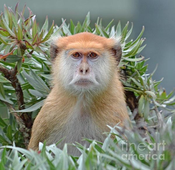 Jim Fitzpatrick - Portrait of a Patas Monkey