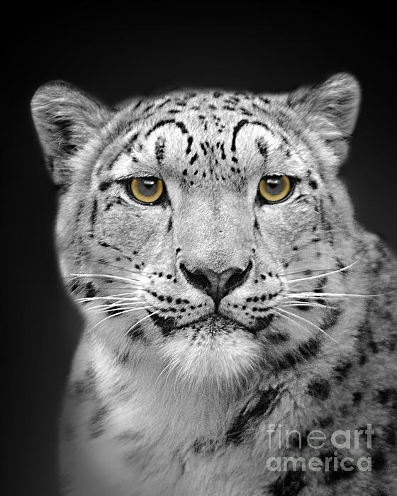 Linsey Williams - Portrait Of A Snow Leopard