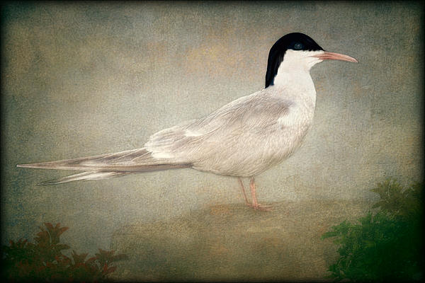 Portrait Of A Tern Print by Tom York Images