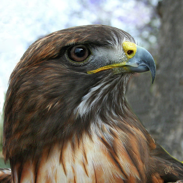 Portrait Of Red-Shouldered Hawk Photograph