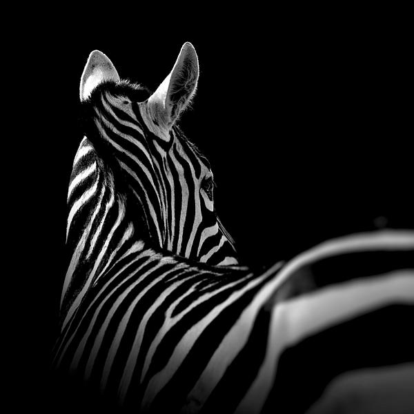 Lukas Holas - Portrait of Zebra in black and white II