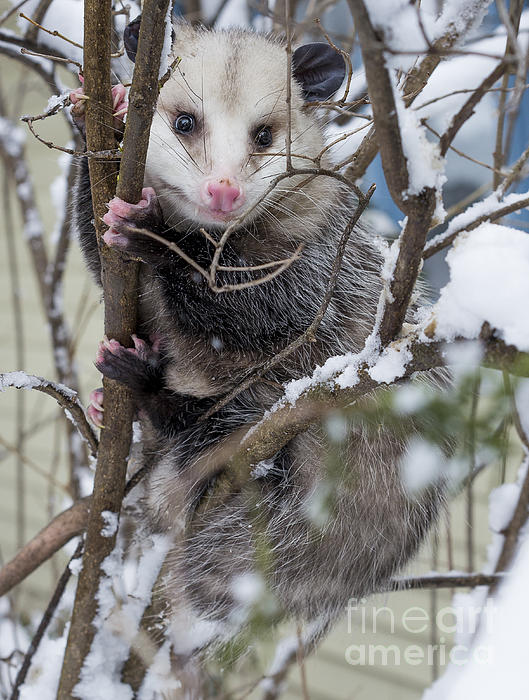 Possum Print by Steven Ralser